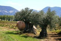 Pulviscolo in frutteto verde oliva vicino a Nyons, Francia Fotografia Stock