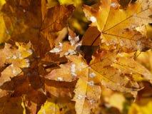 Pulvriger Mehltau im Herbst Stockfotos