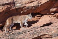 Puma égrappant le long d'un rebord de grès rouge en Utah du sud Images libres de droits