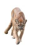 Puma που απομονώνεται Στοκ Εικόνες