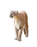 Puma που απομονώνεται Στοκ φωτογραφία με δικαίωμα ελεύθερης χρήσης