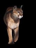 Puma που περπατά στη κάμερα που απομονώνεται στο Μαύρο Στοκ Φωτογραφία