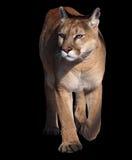 Puma που περπατά στη κάμερα που απομονώνεται στο Μαύρο Στοκ Φωτογραφίες
