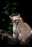 Puma Fotos de archivo