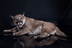 Puma Stock Photography