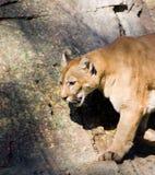 Puma Fotos de Stock
