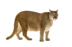 Puma (17 años) - concolor del puma Imagenes de archivo