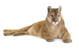 Puma (17 ans) - concolor de puma Image stock