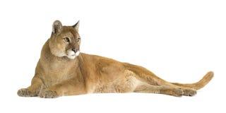 Puma (17 Jahre) - Puma concolor Stockbild