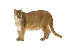 Puma (17 years) - Puma concolor Royalty Free Stock Photography