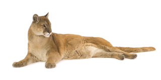 Puma (17 years) - Puma concolor Stock Photography