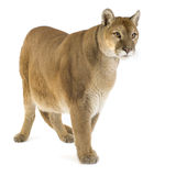 Puma (17 years) - Puma concolor Royalty Free Stock Images