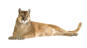 Puma (17 years) - Puma concolor Stock Images