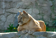 Puma. Resting under the afternoon sun royalty free stock photography