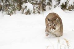 Puma Images libres de droits
