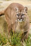 Puma Image stock