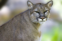 Puma Royalty Free Stock Photo