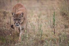 Free Puma Royalty Free Stock Photography - 25949757