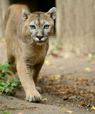 Puma Zdjęcia Royalty Free