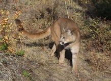 Puma royaltyfria bilder