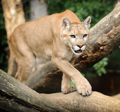 Puma στοκ φωτογραφία με δικαίωμα ελεύθερης χρήσης