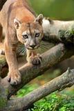 Puma Obraz Royalty Free