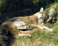 Puma Immagine Stock Libera da Diritti