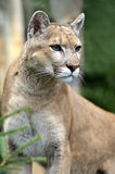 Puma. Portrait of the Puma in their natural habitat Royalty Free Stock Photo