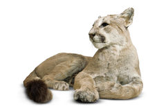 Puma. Feline with clipping path Stock Photos