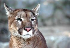 Puma imagenes de archivo
