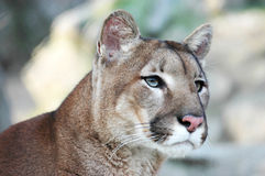 Puma Foto de Stock Royalty Free