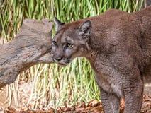 Puma Royaltyfri Bild