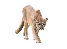 Puma που απομονώνεται Στοκ Φωτογραφίες