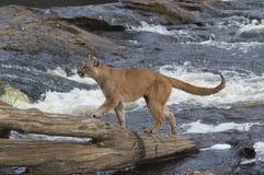 Puma Lizenzfreie Stockfotos