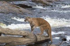 Puma Lizenzfreie Stockfotografie