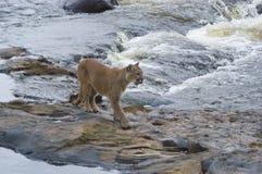 Puma Imagem de Stock Royalty Free