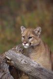 Puma Fotografía de archivo libre de regalías
