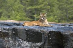 Puma Foto de Stock
