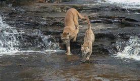 Puma fotografie stock
