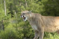 Puma fotografia stock libera da diritti