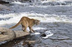 Puma fotografie stock libere da diritti