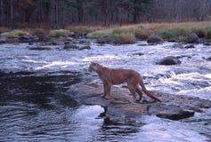 Puma Stockbild