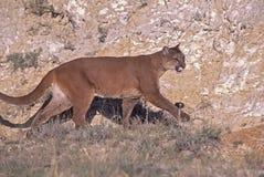 Puma Lizenzfreie Stockbilder