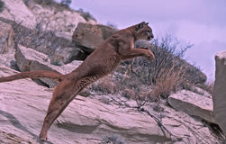 Puma Foto de Stock Royalty Free
