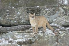 Puma Immagini Stock