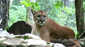 Puma royalty free stock photos