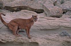 Puma Fotografia Stock