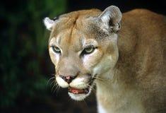 Free Puma Royalty Free Stock Photo - 9628425