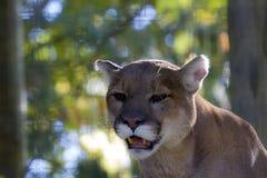 Puma allo zoo Fotografie Stock Libere da Diritti