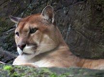 Puma americano del puma in Costa Rica Fotografie Stock